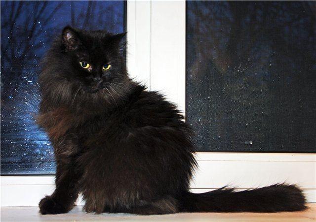 фото персидских котят чёрного окраса