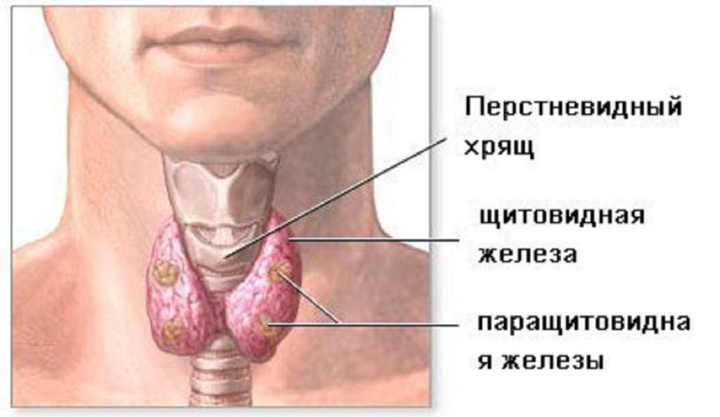 Щитовидная железа Щитовидка Болезни и лечение