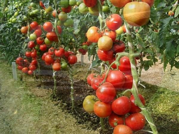 лето шпаргалка любителям томатов на