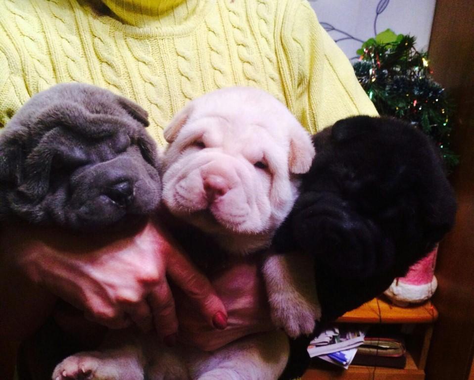 Продам щенков шарпея, две очаровательных девочки ждут своих хозяев.