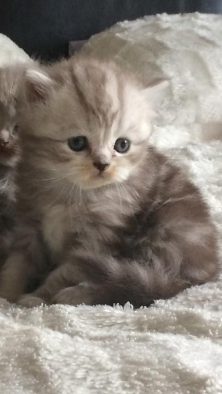 Шикарный котик, очень крупный, общительный, мягкая плюшевая шубка, плоская мордашка, коротенькие ушки, толстый хвостик .