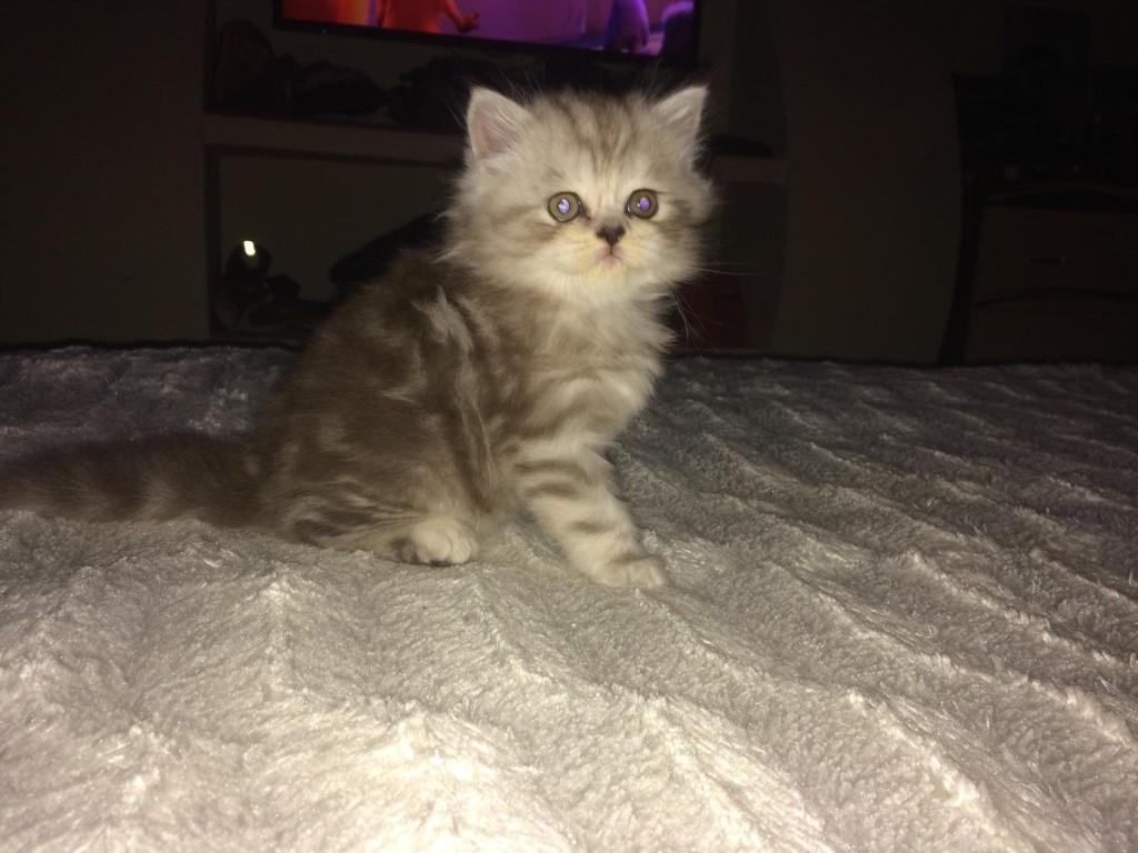 Очень красивые котята, с шикарной шубкой .