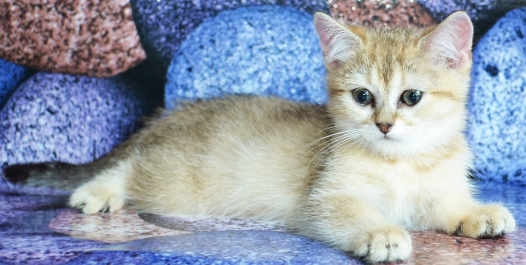 Резерв британских котят в драгоценном золотом окрасе.Четыре красивых котенка, 3 девочки и один мальчик.