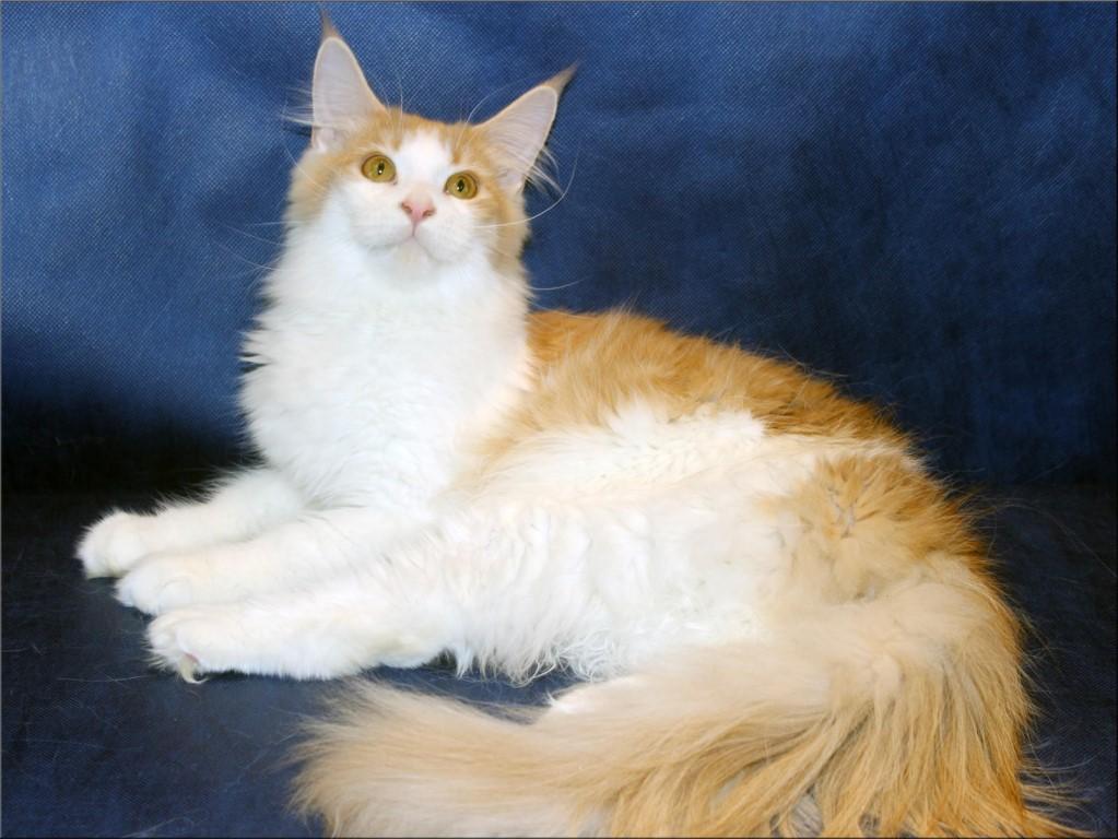 Породистые котята породы мейн кун от титулованных родителей из питомника Livindor.