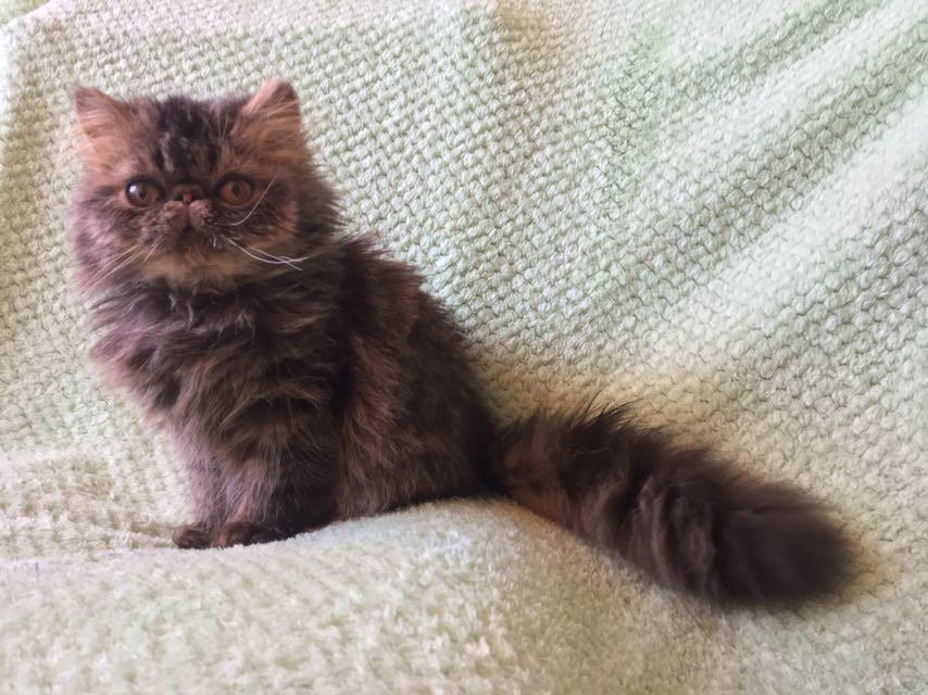 Питомник персидских и экзотических кошек продает отличного персидского мальчугана.