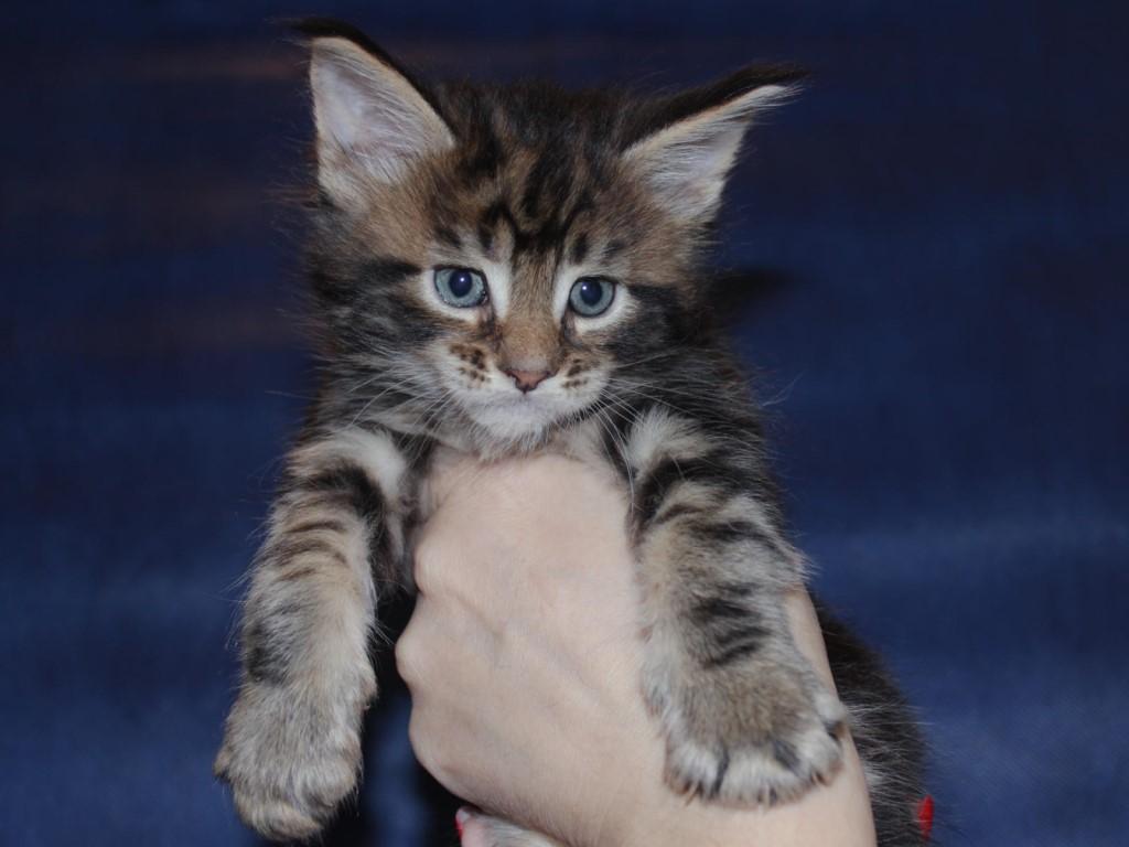 Свободны шикарные котята породы мейн-кун!