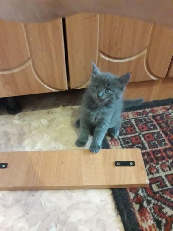 Предлагаются к резерву котята породы мейн-кун.